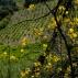 Vignes et Genêts